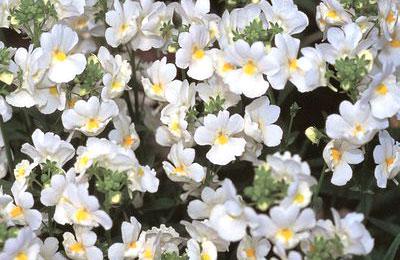 Белые цветы немезии