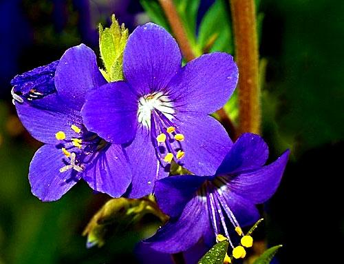 Цветки синюхи голубой