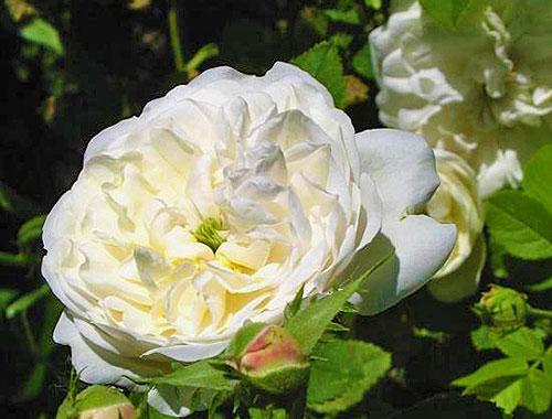Роза сорта madame-plantier