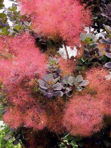 Цветки кустарника скумпия
