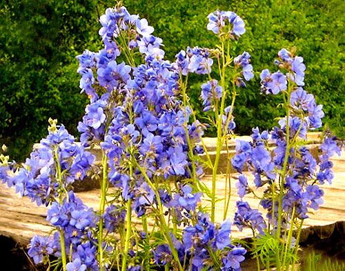 Цветущая синюха голубая на клумбе