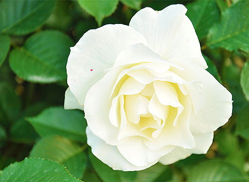 Роза сорта doublewhite