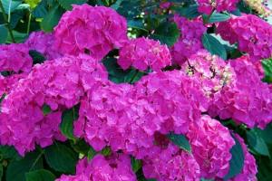 Крупные стерильные соцветия гортензии