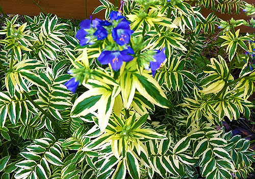 Декоративный куст синюхи голубой