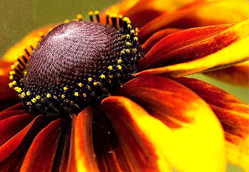Соцветие рудбекии