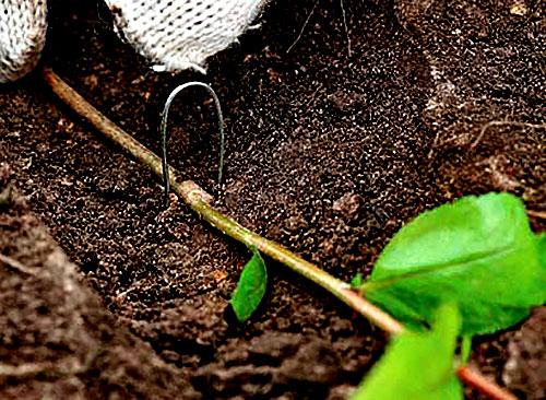 Укладка отводка растения в ямку