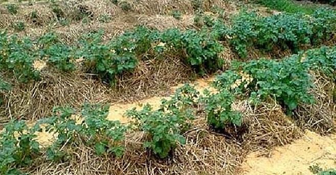 Картошка под соломой