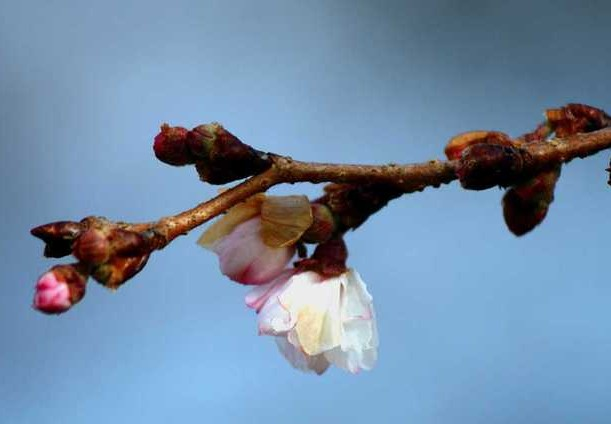 Цветущая ветка плодового дерева