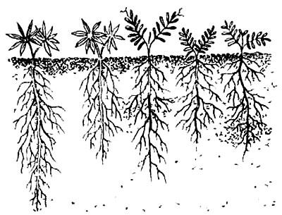 Глубина корней люпина