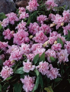 Калистегия flore-pleno