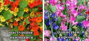 вьющиеся растения для балкона