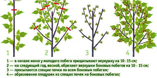 Формирование урожайного куста малины