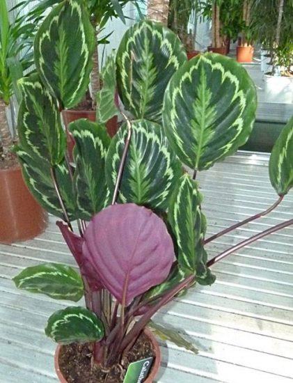Калатея родина растения
