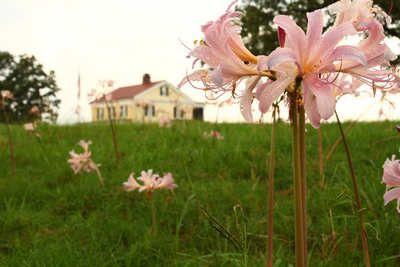 Амариллис не цветет — как ухаживать в домашних условиях