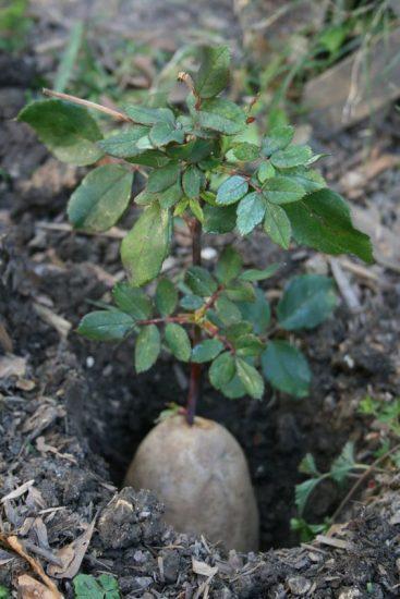 Как посадить срезанные розы — Черенкование роз